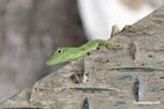 Bright green male anole lizard on canopy tower
