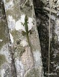 Male anole lizard on trunk of Kapok tree