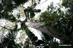 Canopy tower leading to platform in a Ceiba (Kapok) tree