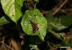 Amarynthis meneria butterfly on leaf