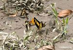 Heraclides thoas butterfly on muddy bank