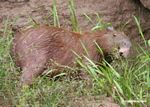 Capybara eating grass on bank of the Rio Tambopata