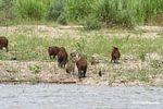 Family of Caprbara leaving the Tambopata river