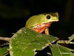 Blunt-headed treesnake (Imantodes lentiferus) [tambopata-Tambopata_1026_3768a]