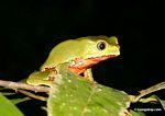 Monkey frog (Phyllomedusa bicolor)
