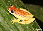 Hyla rhodopepla tree frog on leaf