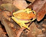Hyla rhodopepla tree frog on forest floor