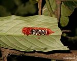 Red-orange, black, white, and maroon caterpillar on underside of leaf