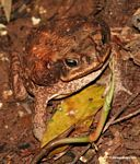 Cane toad (Bufo marinus) in the Amazon rain forest of Peru