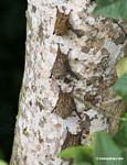 Long-tailed Bats [tambopata-Tambopata_1027_3499]
