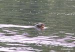Giant river otters (Pteronura brasiliensis)  in  oxbow lake