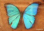 Blue morpho butterfly (Morpho menelaus)
