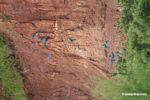 Blue-and-yellow macaws (Ara ararauna); Yellow-crowned parrots (Amazona ochrocephala); and Scarlet macaws feeding on clay [tambopata-Tambopata_1027_3987]