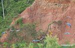 Macaws in flight [tambopata-Tambopata_1027_4080]