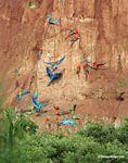 Blue-and-yellow macaws (Ara ararauna); Yellow-crowned parrots (Amazona ochrocephala); and Scarlet macaws feeding on clay