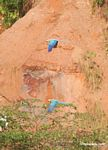 Pair of Blue-and-yellow macaws (Ara ararauna) flying