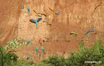 Blue-and-yellow macaws (Ara ararauna); Yellow-crowned parrots (Amazona ochrocephala); and Scarlet macaws feeding on clay [tambopata-Tambopata_1027_4170]