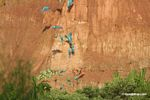 Blue-and-yellow macaws (Ara ararauna); Yellow-crowned parrots (Amazona ochrocephala); and Scarlet macaws feeding on clay [tambopata-Tambopata_1027_4173]