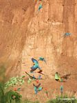 Blue-and-yellow macaws (Ara ararauna); Yellow-crowned parrots (Amazona ochrocephala); and Scarlet macaws feeding on clay [tambopata-Tambopata_1027_4184]