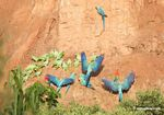Blue-and-yellow macaws (Ara ararauna), Yellow-crowned parrots (Amazona ochrocephala), and Scarlet macaws feeding on clay