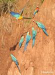 Blue-and-yellow macaws (Ara ararauna) and Scarlet macaws feeding on clay [tambopata-Tambopata_1027_4198a]