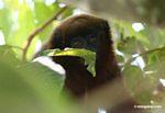 Dusky Titi Monkey (Callicebus spp.)