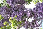 Vines with purple blooms growing in canopy tree