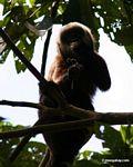 Brown capuchin monkey (Cebus apella) eating fruit