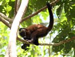 Brown capuchin monkey (Cebus apella) eating fruit [tambopata-Tambopata_1028_4365]