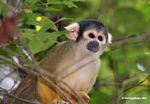 Squirrel monkey (Saimiri sciureus) [tambopata-Tambopata_1028_4373]