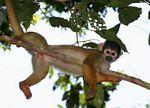 Squirrel monkey (Saimiri sciureus) [tambopata-Tambopata_1028_4377]