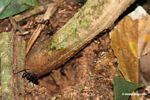 Bullet ant (Paraponera clavata) [tambopata-Tambopata_1028_4400]