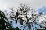 Giant termite nest in tree.