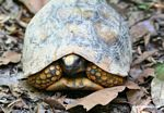 Yellow-footed Tortoise (Geochelone denticulata)
