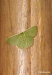 Unknown butterfly, lime green wings with beige to yellow border
