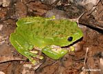 Monkey frog (Phyllomedusa bicolor) on forest floor