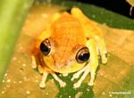 Hyla tree frog close up