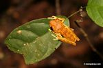 Hyla tree frog