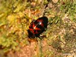 Small red and black Pleasing Fungus Beetle (family Erotylidae)