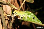 White lined leaf frog (Phyllomedusea vaillanti)