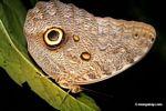 Owl butterfly (Caligo idomeneus)