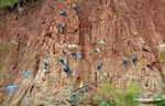 Blue-and-yellow macaws, Scarlet macaws, and parrots on clay lick