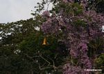 Blue-and-yellow macaw flying in front of purple flowers