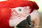 Close-up on face of a Red-and-green macaw