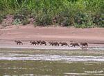 Baby Cabybaras (Hydrochaeris hydrochaeris) along Rio Tambopata