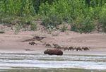 Cabybara with babies along riverside
