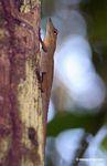 Anole lizard (Anolis fuscoauratus) in Peru