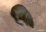 Brown Agouti (Dasyprocta variegata) on clay lick