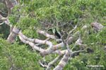 White-throated (Cuvier's) Toucan (Ramphastos tucanus)