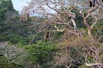 Oropendula nests with Amazonian Oropendola (Gymnostinops bifasciatus)